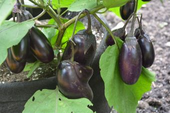 Solanum melongena 'Patio Baby'
