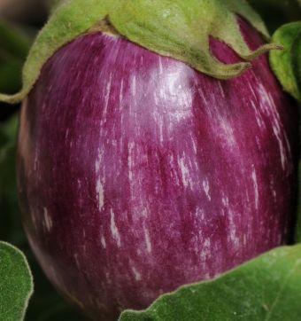 L'aubergine 'Pinstripe'
