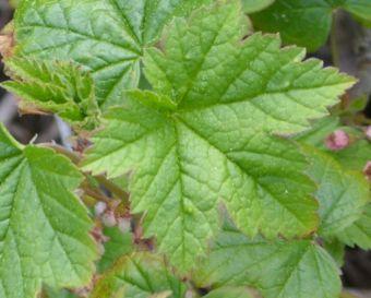 feuilles alternes