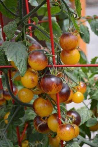 Des tomates cerises bleues