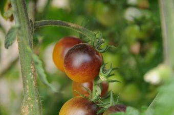 Solanum lycopersicum Indigo™ Kumquat)2