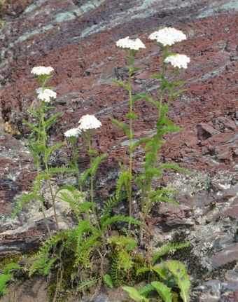 Achillea millefolium L