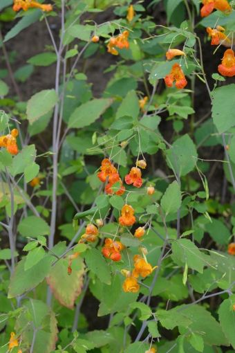 Impatiens capensis Meerb