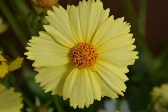 Coreopsis granfiflora Solanna™ Glow,