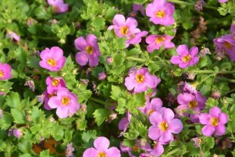 Le bacopa Scopia® Great Pink Delight