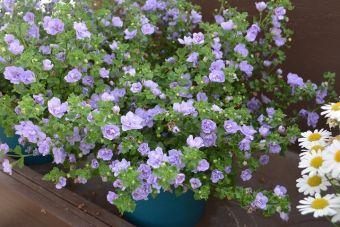 Sutera cordata Scopia® Double Lavender