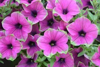 Petunia Cascadia™ Pitaya
