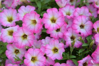 Petunia Littletunia™ Pink Frills