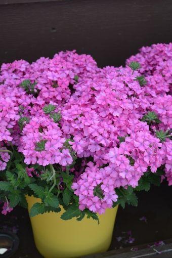 Verbena Vanessa™ Deep Pink
