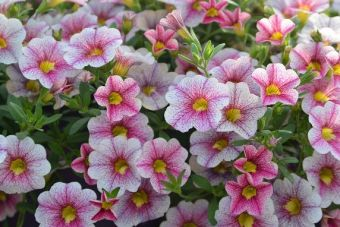 Calibrachoa Noa® Princess