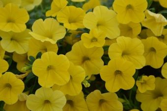 Calibrachoa Noa® Sunlight