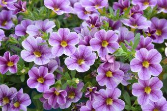 Calibrachoa Noa® Violet Glint