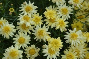 Argyranthemum frutescens Angelic™ Maize