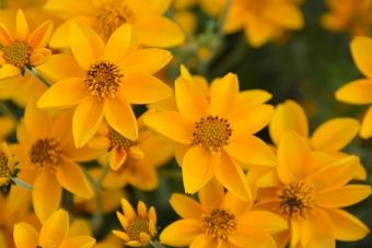 Bidens ferulifolia 'Gold Jingle'