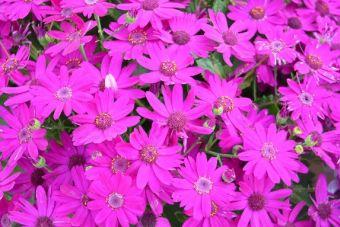 Pericallis Primavera™ Fuchsia