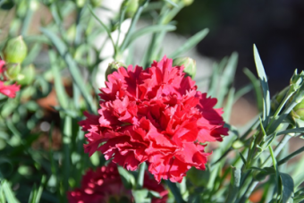 Dianthus Fruit Punch