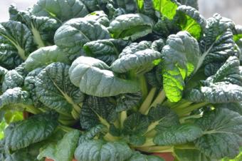 Brassica rapa - Chou navet