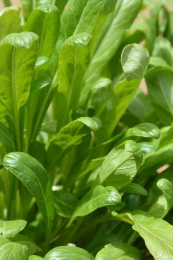 Brassica rapa Mibuna