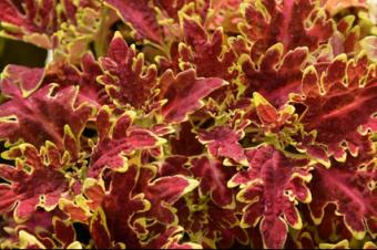 Plectranthus scutellarioide