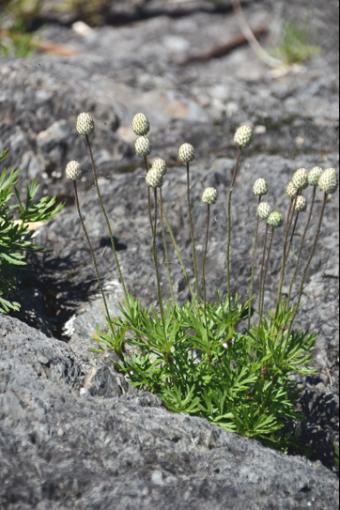 Anemone multifida