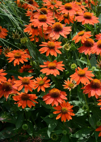Echinacea Sombrero® Adobe Orange 'Balsomador'