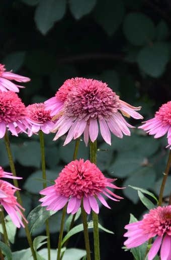 Echinacea Supreme™ Elegance