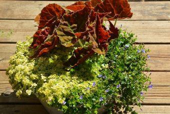 Le bégonia 'Autumn Ember'