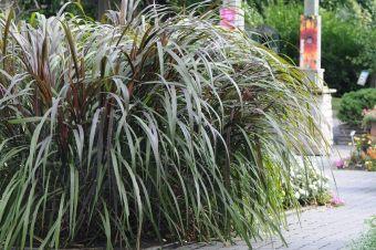 Le millet pourpre 'Prince', Jardin Daniel A. Séguin, le 8 septembre 2010