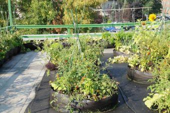 Jardinage de la tomate par les Urbainculteurs sur le toit de l'Auberivière à Québec.