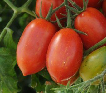 Solanum lycopersicum 'Firecracker'