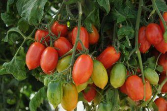 La tomate 'Firecracker'
