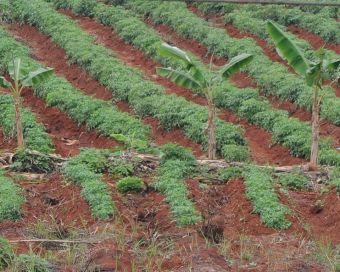 Mon expérience au Cameroun : nous voyons ici une monoculture de tomates.
