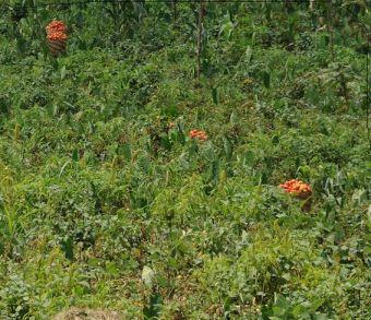 Toujours au Cameroun. Les plants de tomates sont intégrés à travers d'autres plantes potagère, donc une situation de polyculture.