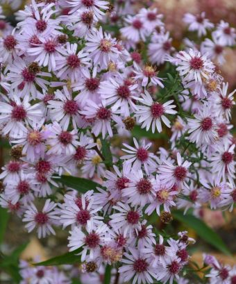 L'aster latériflore 'Coombe Fishacre'