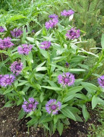 Centaurea montana 'Parham'