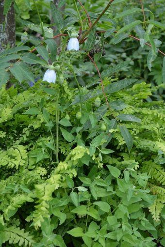 Le codonopside à fleurs de clématide