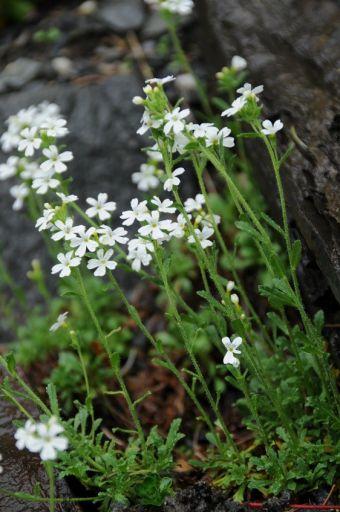 Erinus alpinus 'Albus'