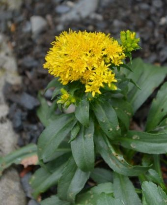 Solidago multiradiata