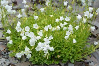 La campanule à feuilles de cochléaire 'Bavaria White',