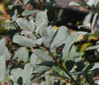 Salix repens L.753