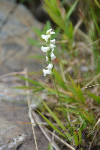 Spiranthes cernua (L.) Rich. 1817