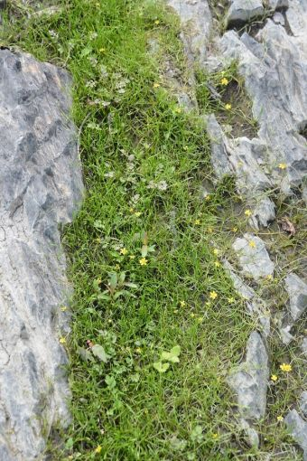 Ranunculus flammula var. reptans (L.) Mey. 1830