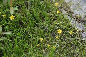 Creeping spearwort