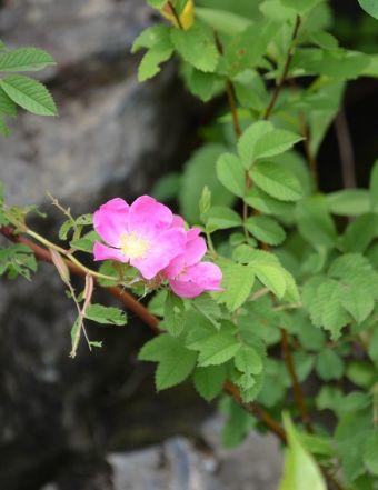 Rosa blanda Aiton 1789
