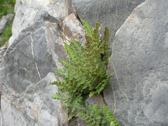 Woodsia ilivensis (L.) R. Br. 1815
