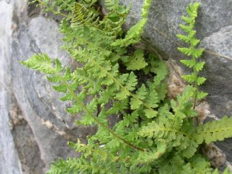 Rusty woodsia, fragrant woodsia, rusty cliff fern