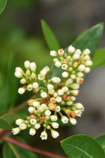Apocynum cannabinum L. 1753