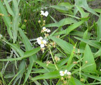 Sagitaria latifolia Wild. 1805