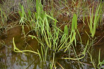 La sagittaire à larges feuilles, la sagittaire latifoliée