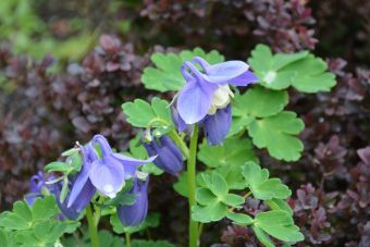 Aquilegia flabellata 'Ministar' ou 'Blue Angel' ou 'Blue Angel'